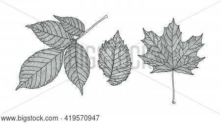 Set Of Leaves Of Different Trees. Ash, Maple, Elm Leaves In A Veined Line Graphic On A White Backgro