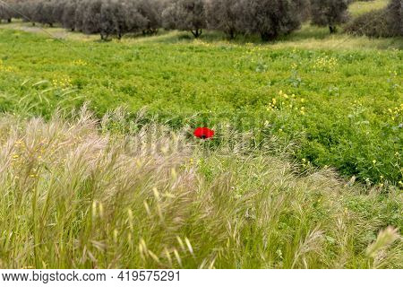 A Lone Red Wild Field Poppy Growing In A Meadow In Spring, Near The Excavations Of The Ancient Mares