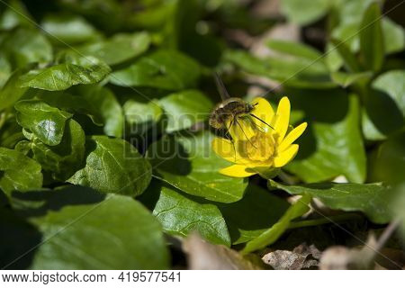 Bombylius Major Collecting Nectar From A Yellow Flower. Bombyliidae. Hummed On A Yellow Flower. Spri