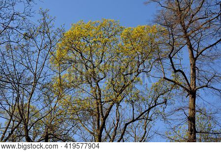 Maple Is A Species Of Soap Tree. The Norway Maple Is A Large Deciduous Tree