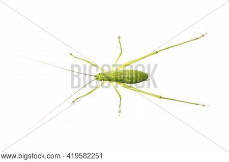 Image Of Green Bush-cricket Long Horned Grasshopper On White Background. From Top View. Insect. Anim