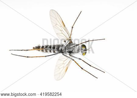 Image Of The Asilidae Are The Robber Fly Family, Also Called Assassin Flies. On White Background. Vi
