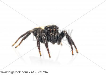 Image Of Biting Jumping Spider (opisthoncus Mordax) On White Background. Insect. Animal