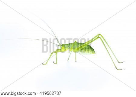 Image Of Green Bush-cricket Long Horned Grasshopper On White Background. From Side View. Insect. Ani