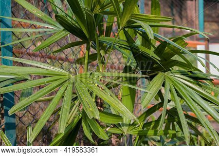Picture Of Dwarf Or Small Palm Tree Leaves