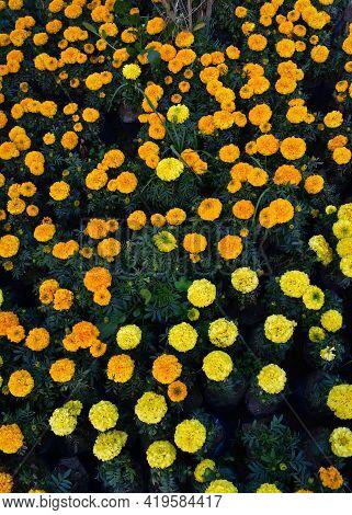 Picture Of Marigold Flowers In Flower Nursery
