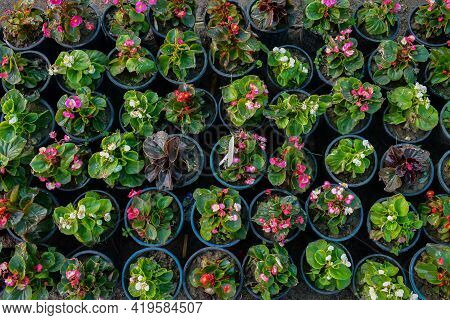 Picture Of Various Begonia Flowers In Flower Pot