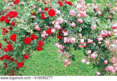 Pergola Covered In Redand Pink Climbing Roses.
