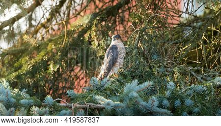 Eurasian Sparrowhawk (accipiter Nisus) Perched In A Conifer Tree In A Uk Garden. Sparrow Hawk Wildli