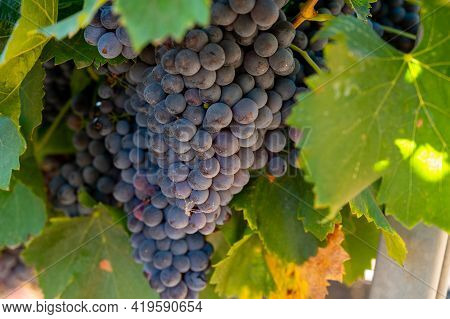 Vineyards Of Aoc Luberon Mountains Near Apt With Old Grapes Trunks Growing On Red Clay Soil, Red Or