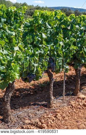 Vineyards Of Aoc Luberon Mountains Near Apt With Old Grapes Trunks Growing On Red Clay Soil