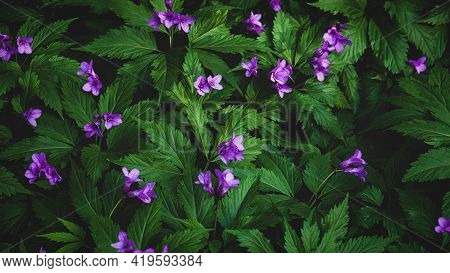 Forest Flowers For Dark Moody Floral Background, Cardamine Pentaphyllos