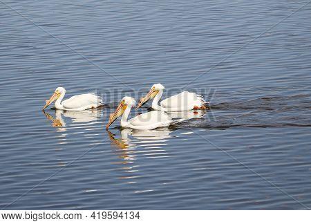 Swimming Birds Trio White Pelicans On Lake