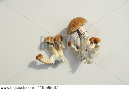 Psilocybe Cubensis Raw Mushrooms Isolated On White Background. Psilocybin Psychedelic Magic Mushroom