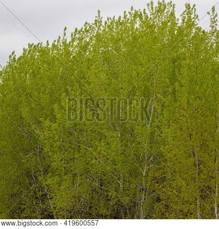 New Growth Leaves From Populus Grandidentata Trees In Early Spring. Selective Focus, Background And