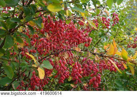 Lots Of Red Berries In The Leafage Of Berberis Vulgaris In September