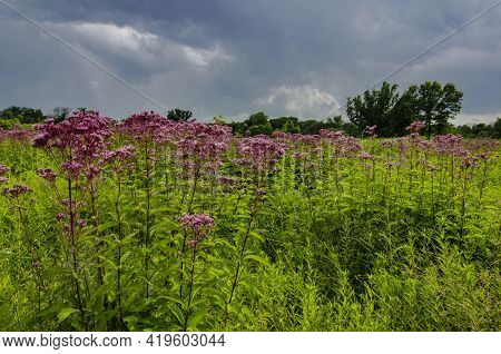 Joe Pye Weed Grows In Profusion In The Prairie At Nachusa Grasslands In Ogle And Lee Counties, Illin