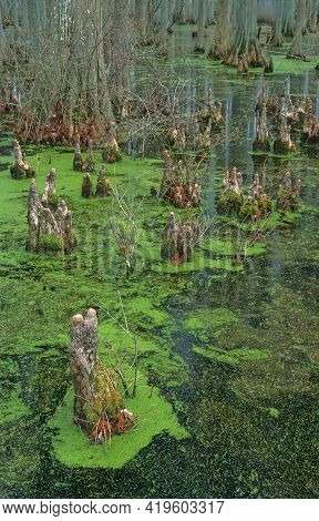 A Cypress Swamp Shows Cypress Trees And Knees In Herron Pond At Herron Pond / Little Black Slough St