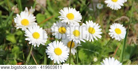 White Daisies In The Meadow, Flowers With White Petals, Spring Daisies With Yellow Centers