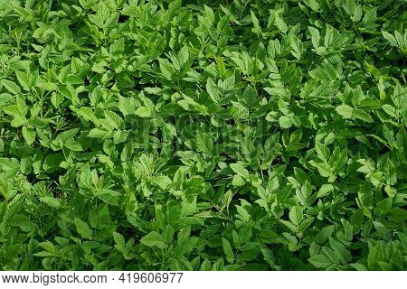 Natural Green Plant Texture From Wild Plants With Many Leaves In Nature