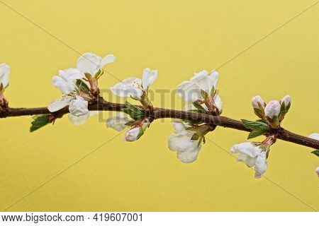 White Small Flowers On A Brown Cherry Branch On A Yellow Background