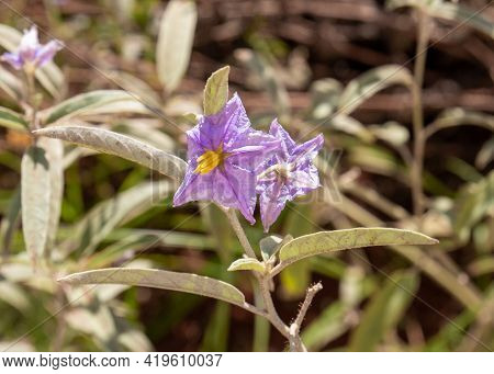 Blooming Purple Toxic Flower With Yellow Center On Plant In The Solanaceae Or Nightshades Family