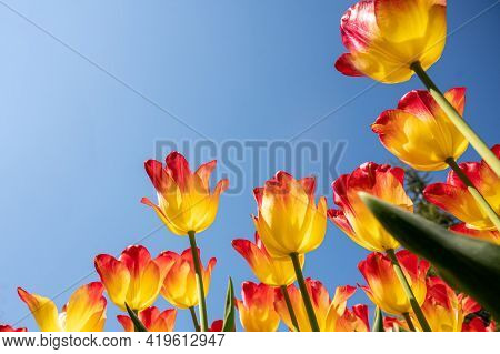 Bright Yellow And Red Tulips On Blue Sky Background. Colorful Spring Composition. Beauty In Nature.
