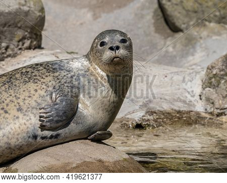 The Harbor Seal, Also Known As The Common Seal, Is A True Seal Found Along Temperate And Arctic Mari