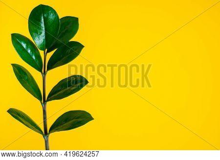 Green Zamiokulkas Leaf On  Yellow Wall Background. Botany.
