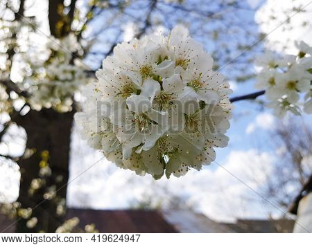 The Cherry Tree Is In Full Bloom. Cherry Blossoms In A Small Cluster Of White. White Cherry Blossoms