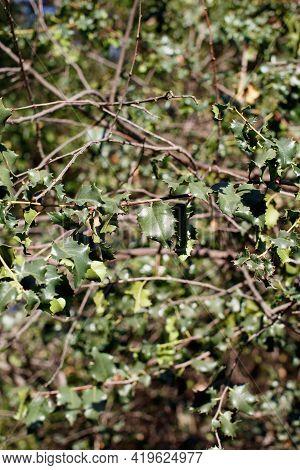 Simple Alternate Distally Acuminate Proximally Broad Rounded Aculeate Undulately Margined Leaves Of