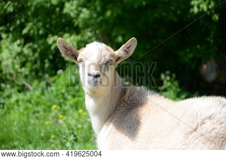 White Goat Grazing In A Meadow In Summer. Concept Of Raising Cattle At Home And On The Farm, Domesti