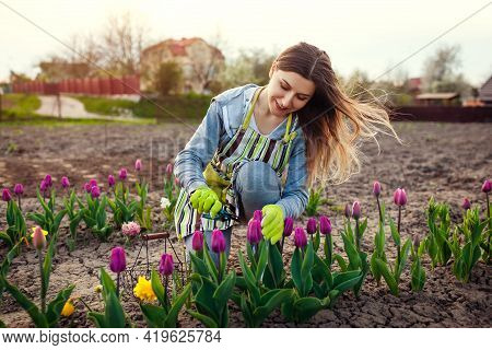 Gardener Picking Fresh Tulips In Spring Garden. Young Woman Cuts Flowers Off With Pruner To Put In M