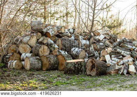A Big Pile Round Cuts Of Wood. The Logs Are Sawed From The Trunks Of Birch Stacked In A Pile. Birch