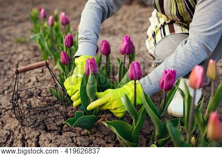 Gardener Picking Purple Tulips In Spring Garden. Woman Cuts Flowers Off With Secateurs Picking Them