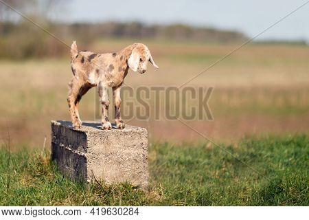 Brown Spotted Nice Little Goatling Standing On A Concrete Block, Like A Statue