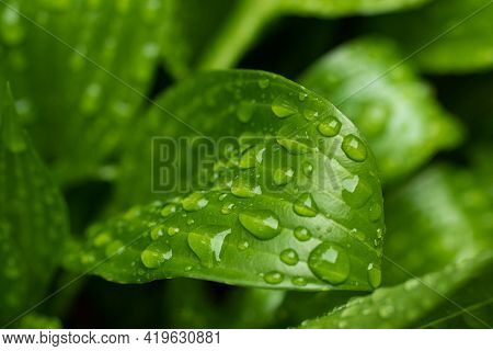 Macro Photography Of The Green Glossy Leaf With Rain Drops.fresh Spring Foliage With Water Droplets.