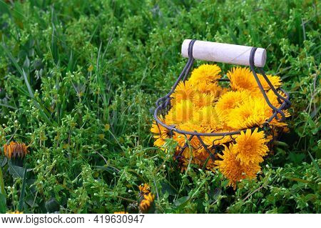 Collected Bouquet Of Yellow Dandelions (taraxacum Officinale) In An Iron Decorative Basket With A Wo