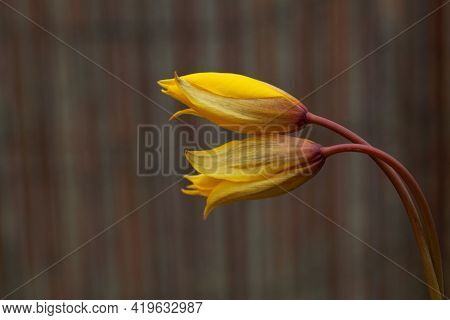 Wild Or Woodland Tulip Flowers, Tulipa Sylvestris