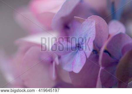 Delicate Lilac And Blue Hydrangea Flowers In Soft Sun Light Close-up. Bright Floral Background. Roma