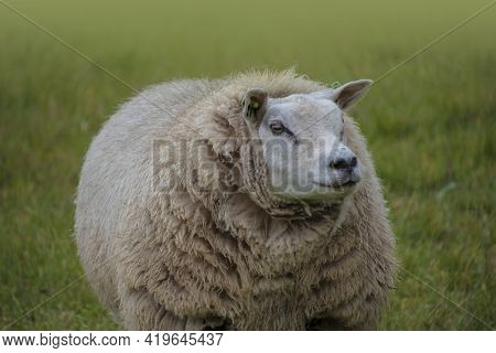 Sustainable Livestock Concept. Sheep On A Green Field. Domestic Furry And Fluffy Cute Animal. Eco Fa