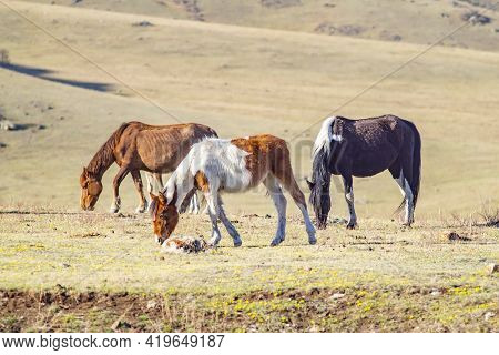 Several Horses Of Different Colors And Breeds Graze And Fatten On The Spring Stony Meadow, Among The