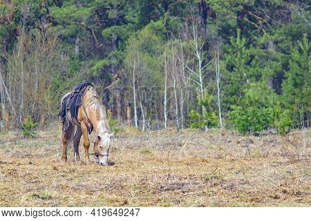 A Single Horse, Harnessed In The Saddle, Stands In A Clearing Near The Forest And Eats Fresh And Dry