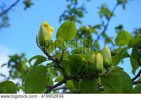 Magnolia Blossom. Beautiful Yellow Flowering Magnolia Close Up. Chinese Magnolia Denudata Yellow Riv