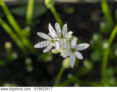 Flowering  Wild Garlic (allium Ursinum) In The Garden. The Plant Is Also Known As Ramsons, Buckrams,