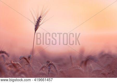 Wheat field. Ears of wheat close up. Beautiful Nature Sunset Landscape. Rural Scenery