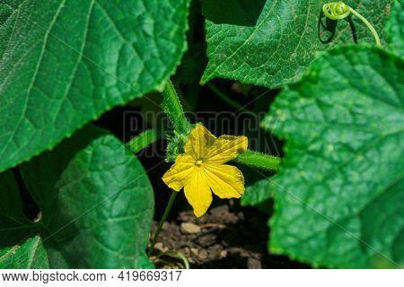 Vegetable Bed. Blossom Of Plant Cucumber (latin: Cucumis Sativus). Cucumber Flower Close-up.