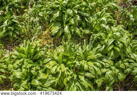 Lots Of Ramsons Vegetation In Sunny Ambiance Seen From Above