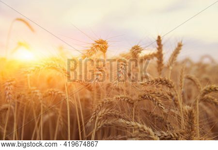 The yellow wheat at Sunset or sunrise on a rye field with golden ears, shallow depth focus,   Ears of wheat close up
