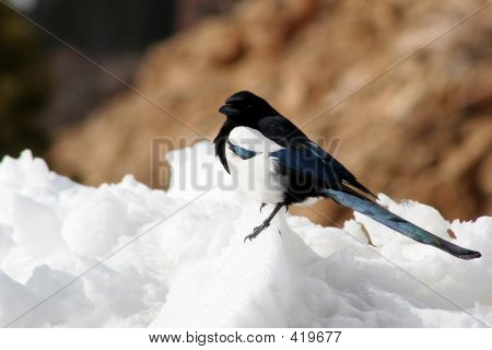Snow Bird (colorado Magpie)